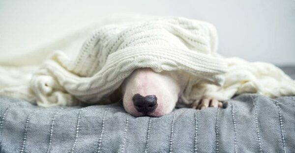 white dog under white blanket because the temperature is too cold inside the home