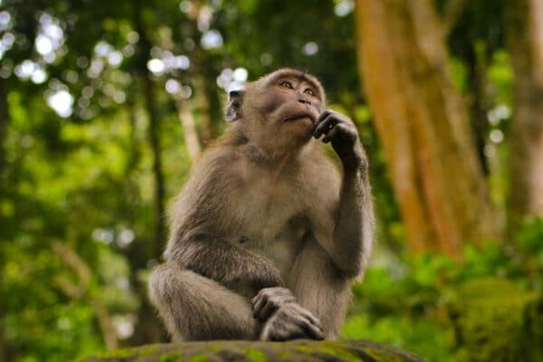 gray monkey pondering if he should buy a 80% or 95% efficiency furnace